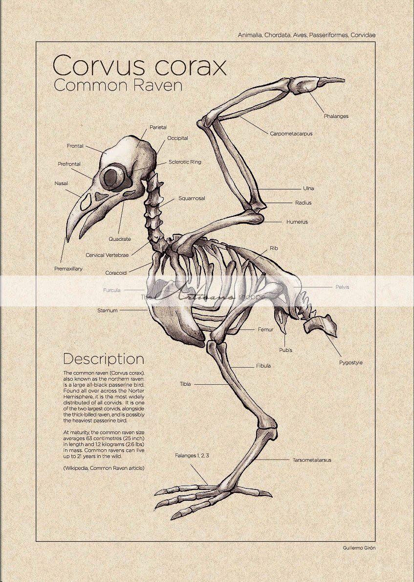 Las 425 Mejores Imágenes De Anatomy Avian En 2020