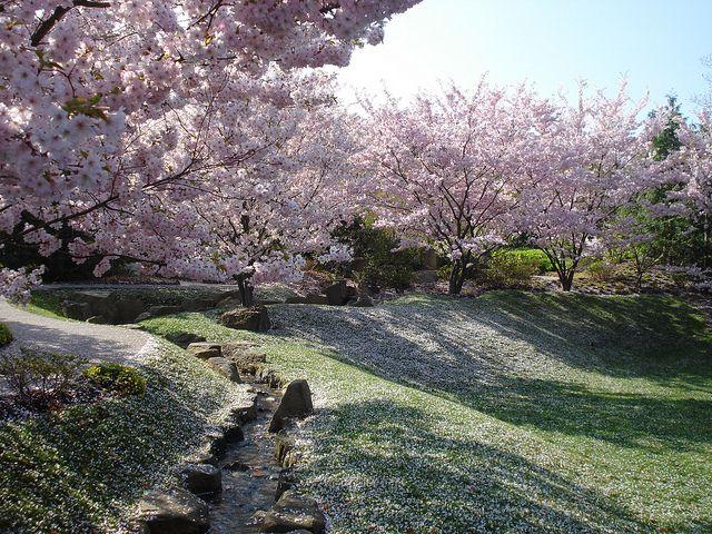 Kirschblüte Japanischer Garten Grün berlin, Kirschblüten und - garten gestalten berlin