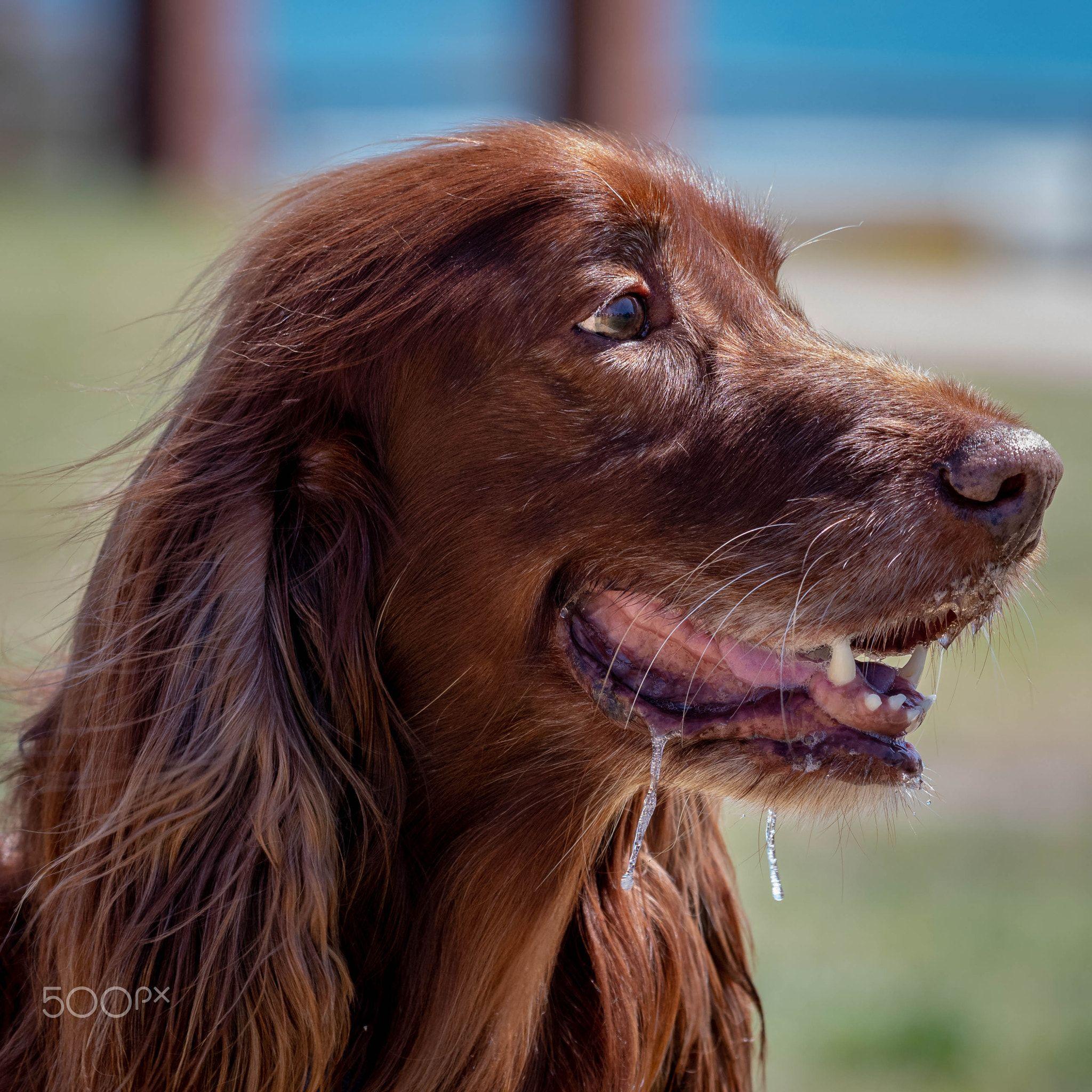 Nice Long Hair Irish Setter Labrador Retriever Chocolate Labrador Retriever