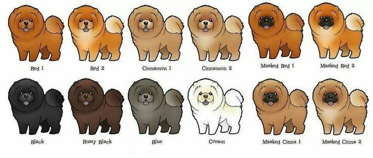 Chow chow dog price range how much does a chow chow cost