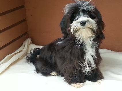 Havanese Black With White Markings Havaneser Hunde Gemalde Hunde