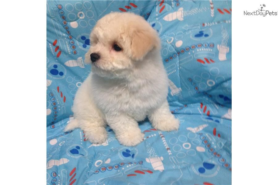 Bichon Frise Puppy For Sale Near Memphis Tennessee 94c62985 9571 Bichon Frise Puppy Puppies Bichon Frise
