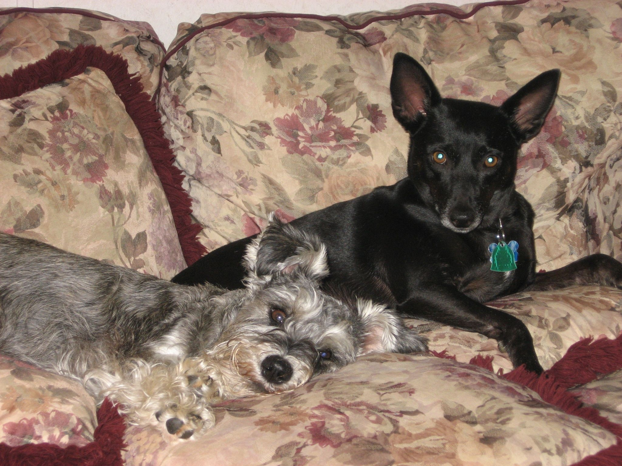 Scruffy & Buddy taking it easy on the love seat.  They were a bonded pair - Buddy passed away from cancer.