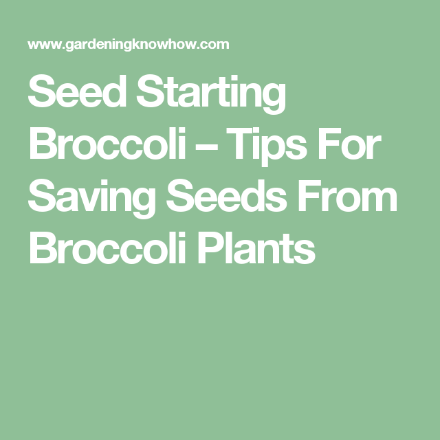 Planting Broccoli Seed How To Save
