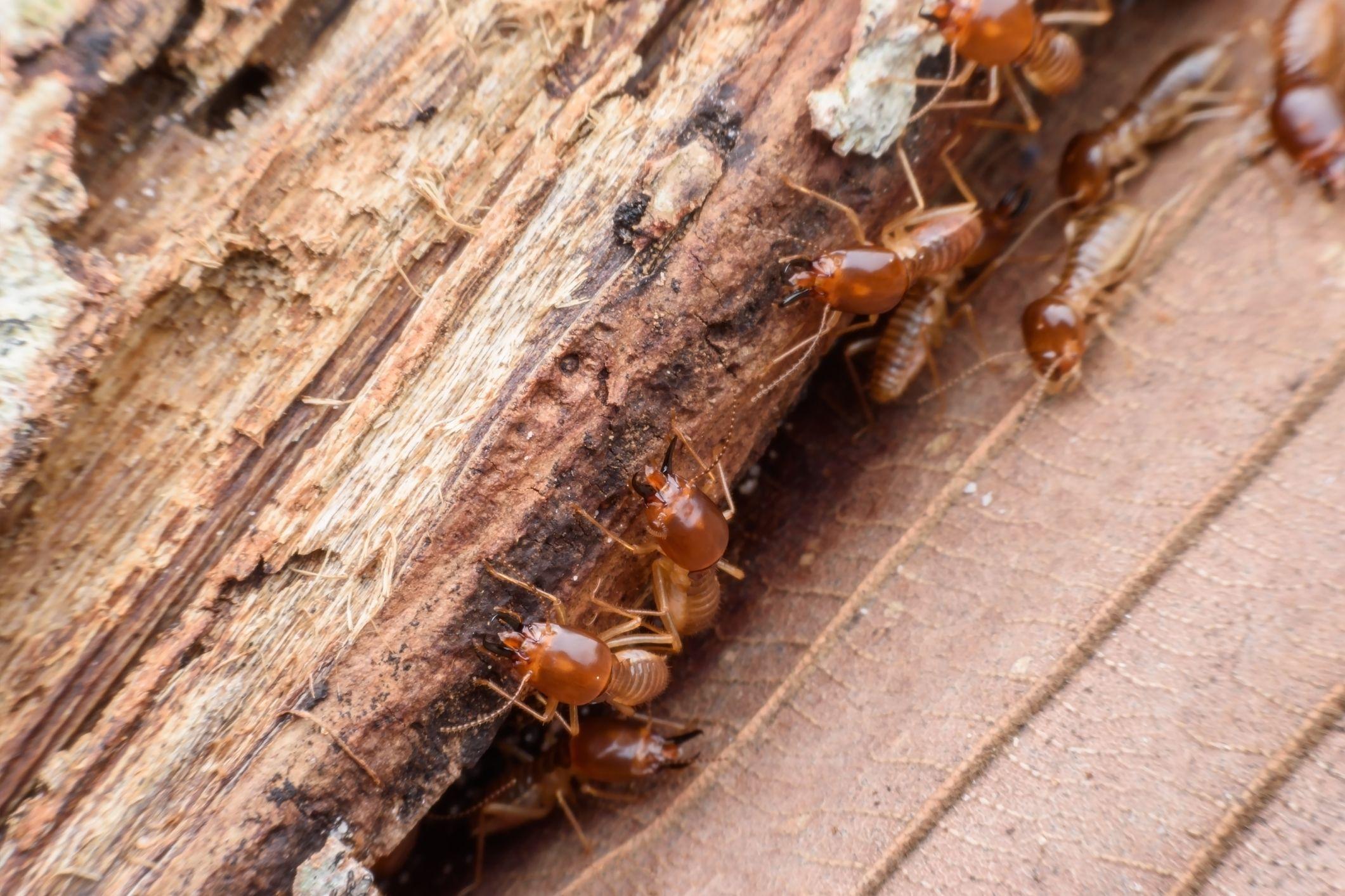 Como Acabar Con Las Termitas Warmer Temperatures Bring Out Termites In 2020 Termite Control
