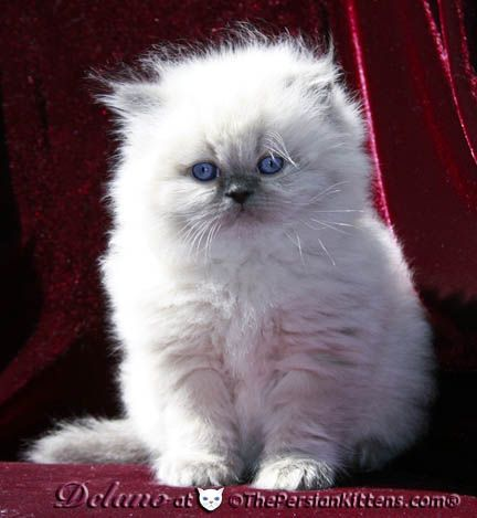 Pictures Of Persian Kitten Delano At The Persian Kittens Com Persian Kittens Cute Cats And Dogs Cute Cats