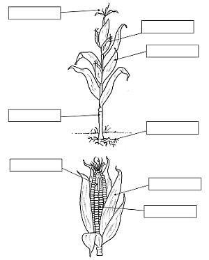 SCIENZ@SCUOLA/ Dalla pianta di Mais alla scoperta dei Semi. Fare Scienza alla Scuola Primaria | pagina 3