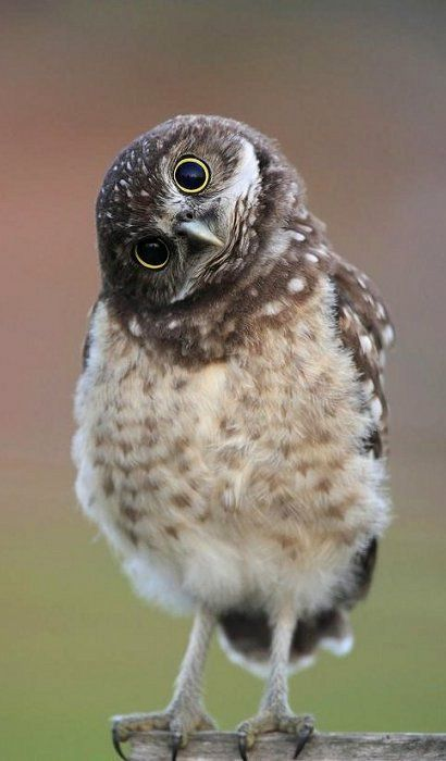 This owlet is just too cute.