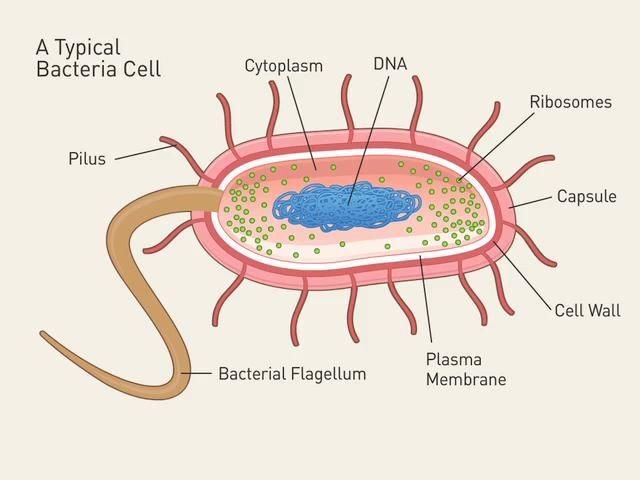 Bacteria Structure Diagram Rock Formation Cycle Cell Under Attack Virus Unit