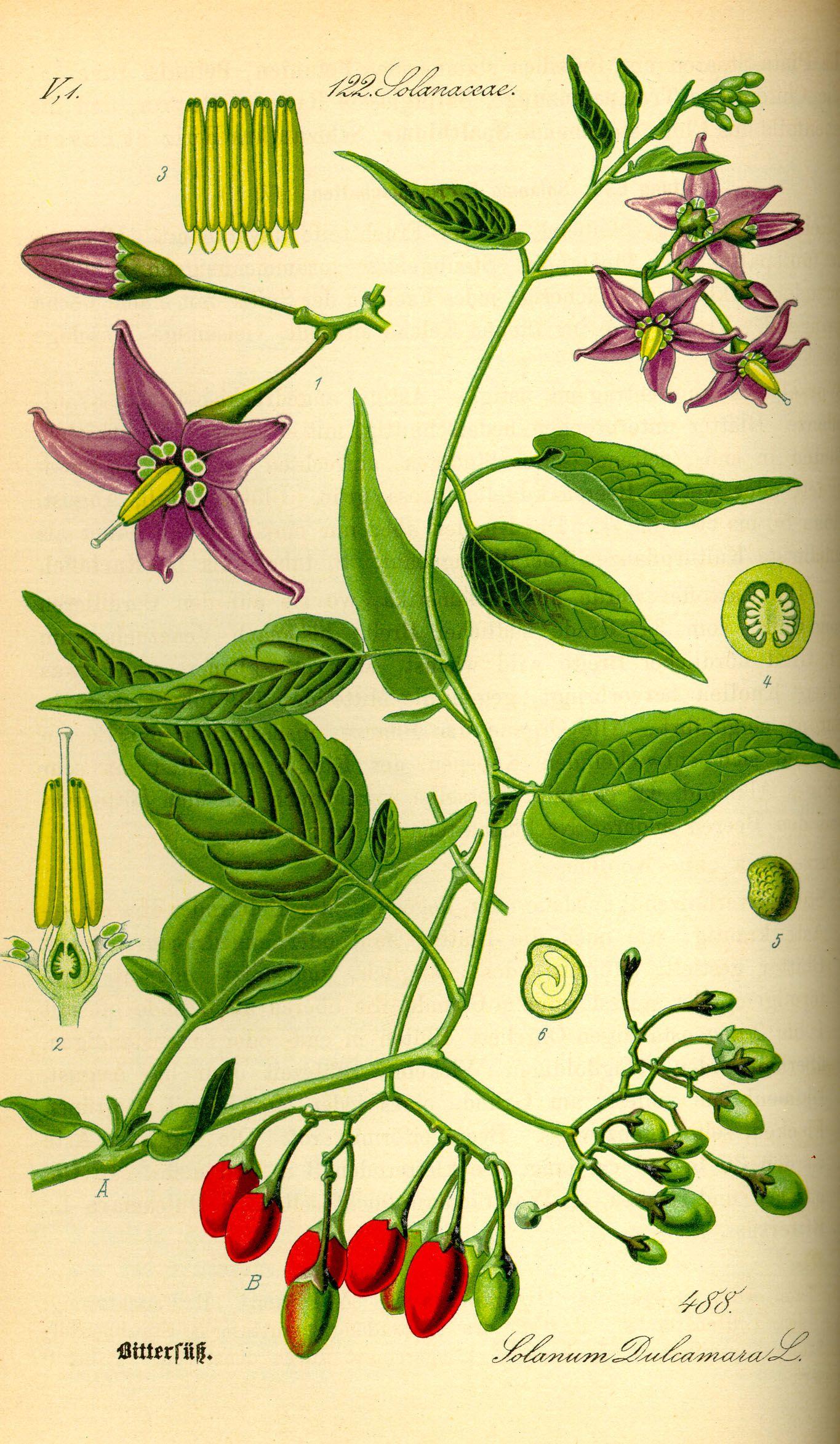 Solanum dulcamara (Woody Nightshade) | Pflanzenzeichnung | Pinterest ...