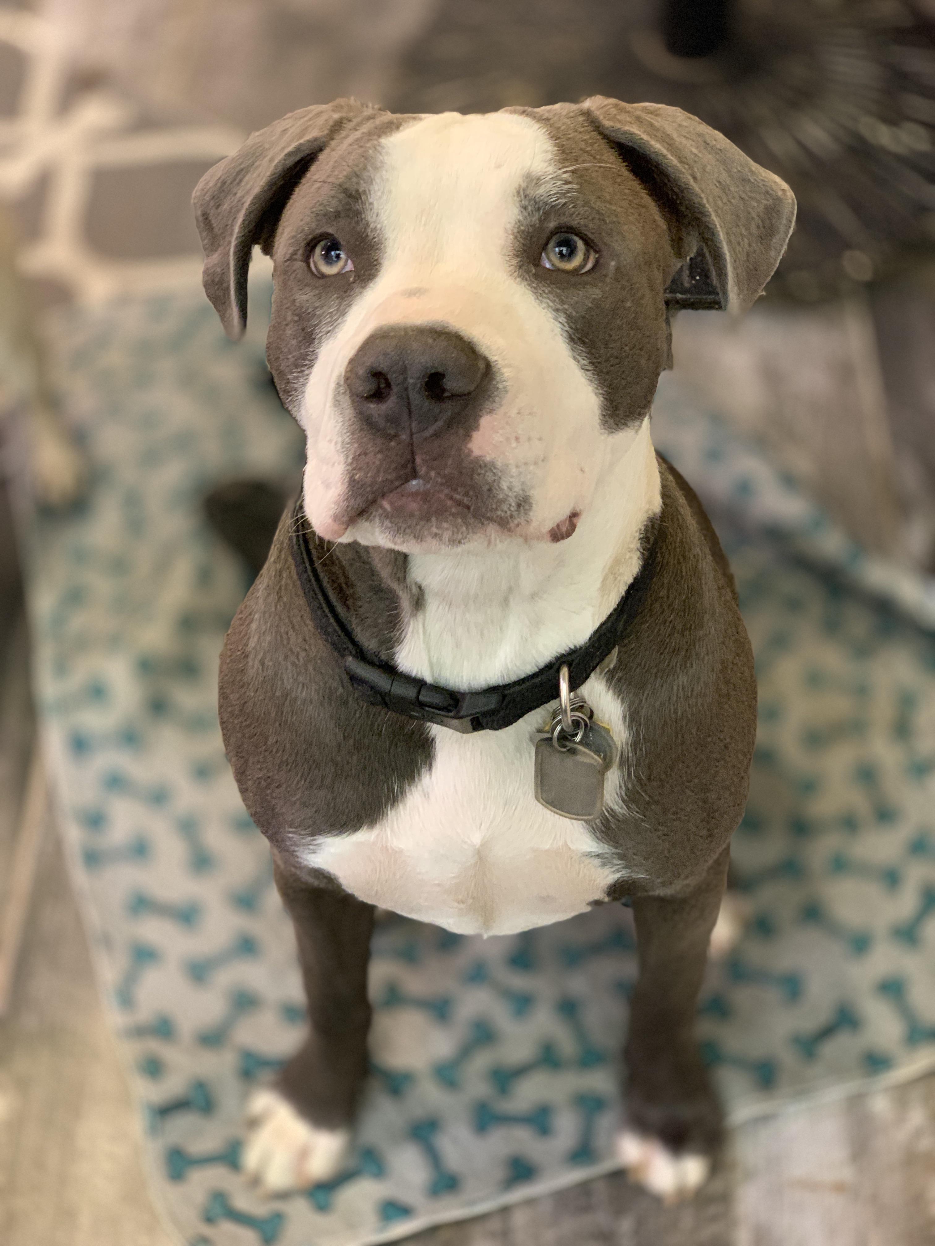 44 adorable pitbull mixed breeds pitbull mix breeds