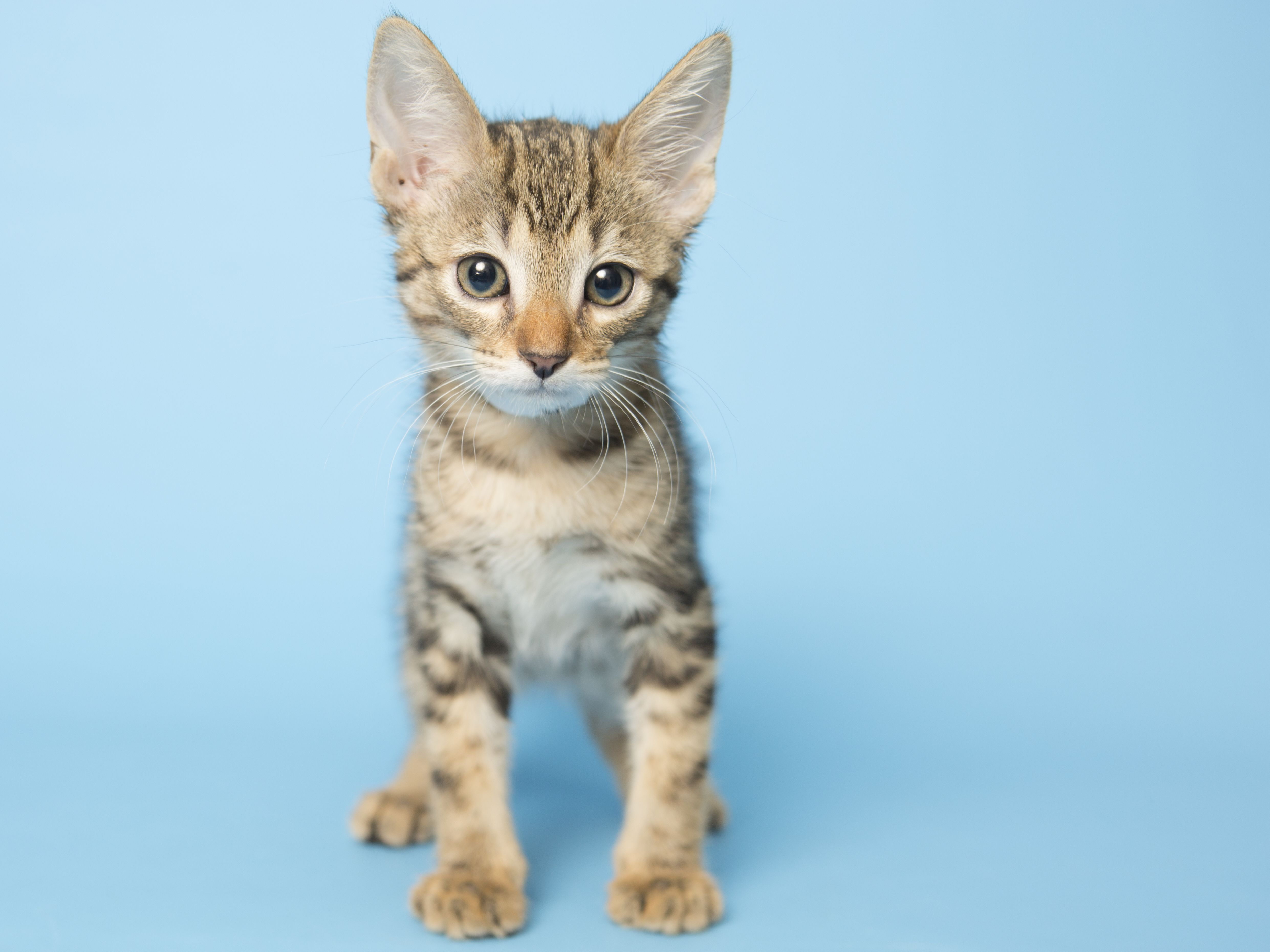 Cheeta Is An Adorable 2 Month Old Tabby Looking For His Fur Ever Home He Has Lived With Other Cats And Dogs Before And Got A Cat Adoption Kitten Adoption Cats