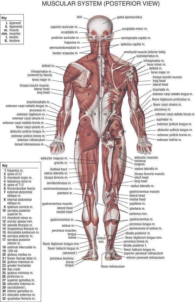 Pin von Dee Wise auf AnatomyBody | Pinterest | Übungen, Schule und ...