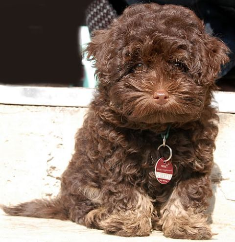 Bolonka Zwetna this is my dream puppy. He looks just