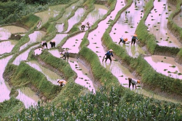 240d02135 Rice Fields China | Rice Fields Poems | Chinese plants, Ancient ...