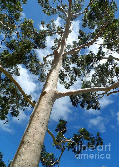 Gumtree By Alan Hogan Tree Looktowardsthesky Sky Art Sky