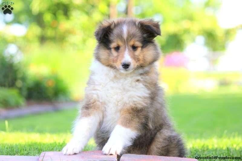 Max Shetland Sheepdog Puppy For Sale In Pennsylvania Shetland