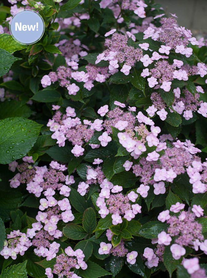 bobo hydrangea hedge   TINY TUFF STUFF™ Hydrangea serrata, Sun to Part Sun, Height: 18-24 ...