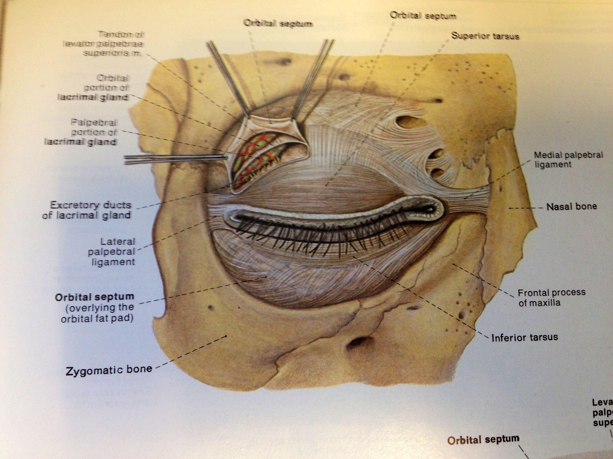 Orbital septum | Facial Anatomy | Pinterest
