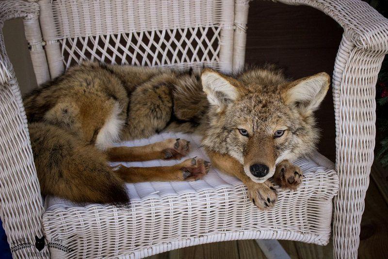 Western Coyote Zum Verkauf von SkinnedFawxTaxidermy