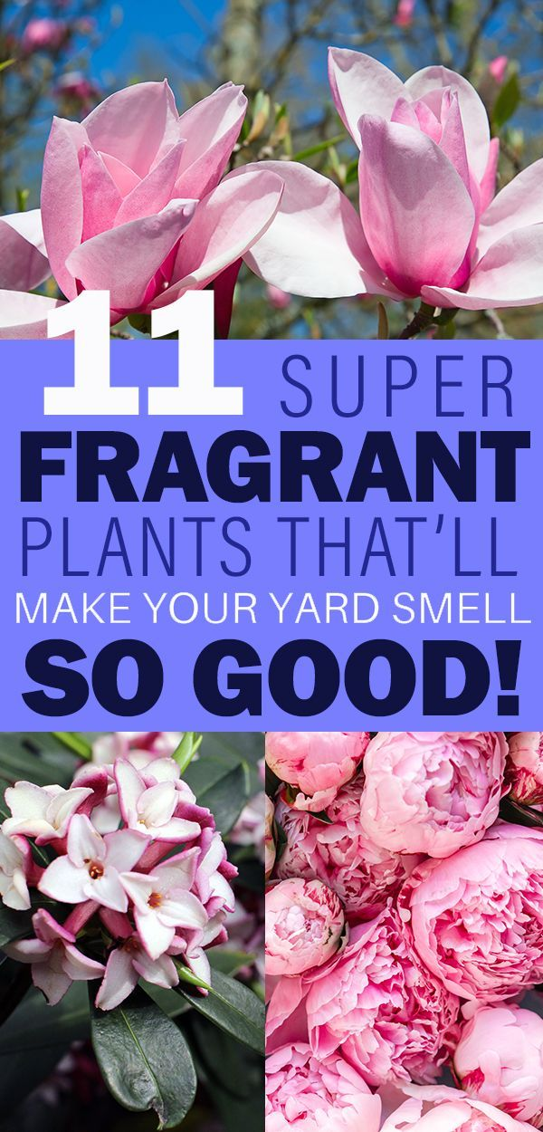 Best landscape plant ideas for good smelling plants, flowers, shrubs, and trees.  Add these to your backyard, side, or front yard for a super fragrant yard.  #goodsmellingplants #landscapeplantideas #landscapeideas #bestsmellingplants