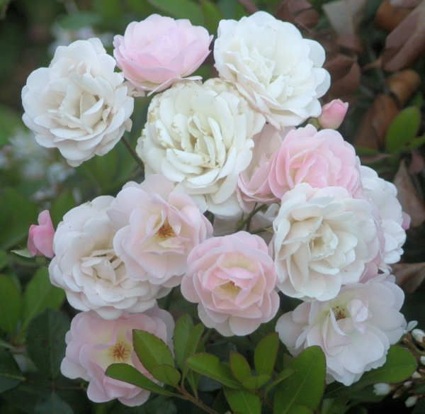 Mrs. R. M. Finch - vintage rose variety