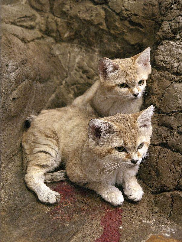 Cincinnati Zoo 09012009 Sand Cat 12 David Ellis