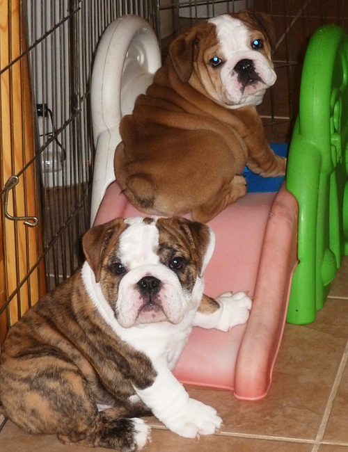 Puppy Playground Bulldog Puppies Baby Dogs Puppy Playground