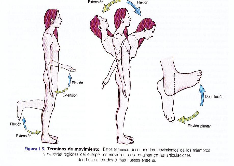 extensión- flexión NOMENCLATURA DE ANATOMIA | mirandafisioterapia ...