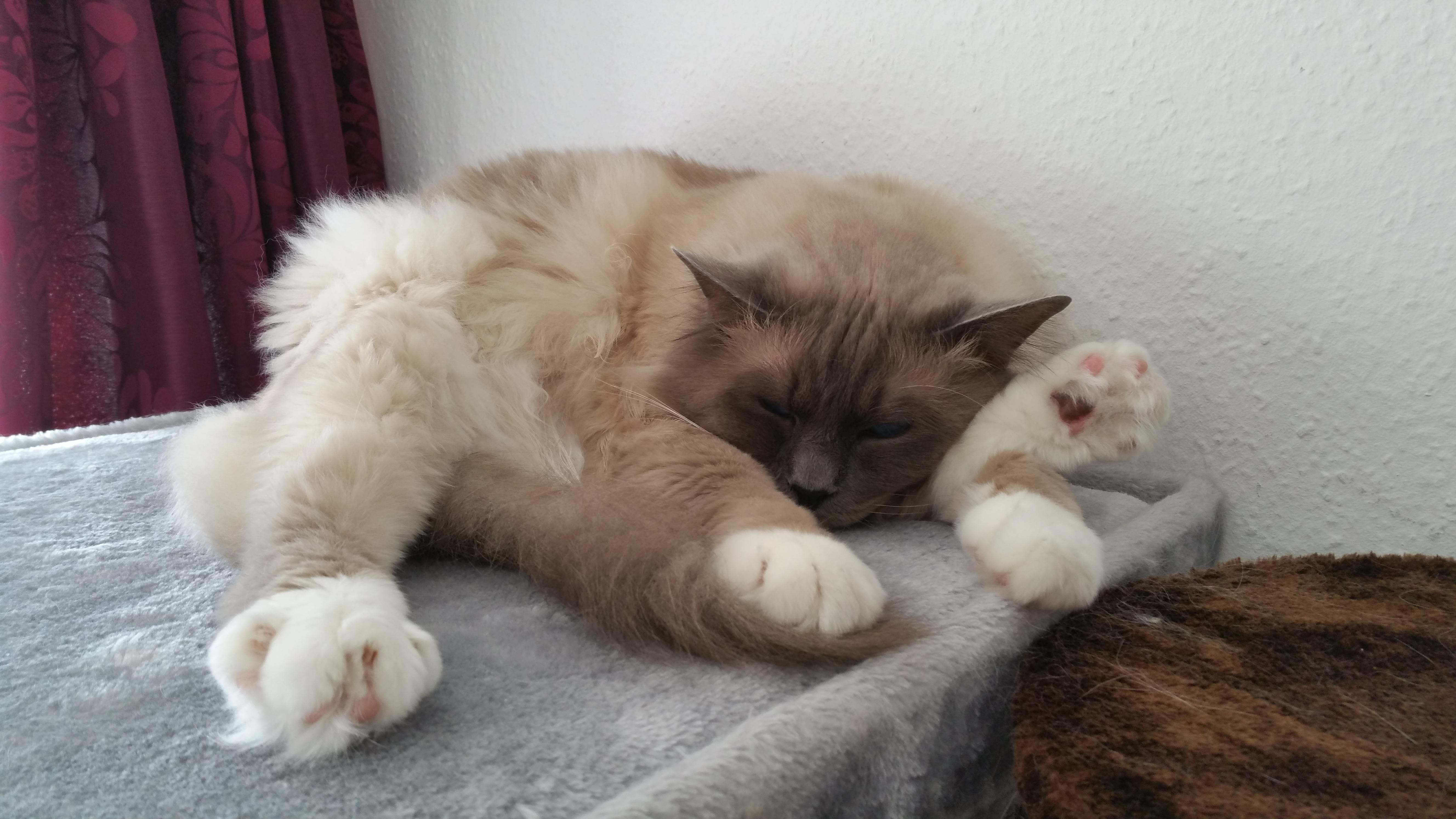 Yoga Kotic Sleeping Pose 9 Years Old Birma Malr Cat Cats In 2020 Sleeping Pose Kitten Cats
