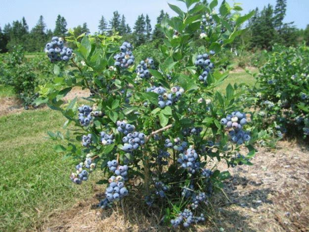 Blueberries A Homesteading Guide To Fresh Backyard Berries