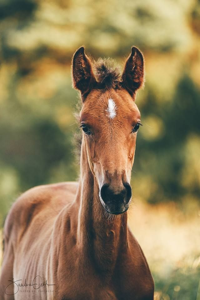 WIMPYS ROYAL PINE - 2017 AQHA GREY FILLY FOR SALE IN BC