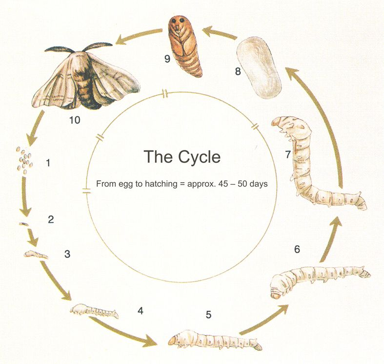 The life cycle of a silk worm: Alkena bio-dynamic and ...