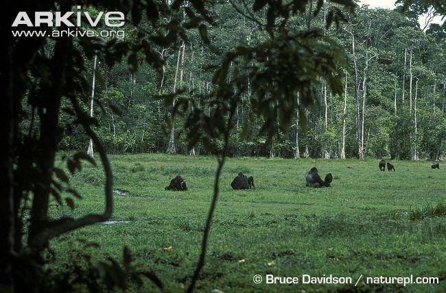 western lowland gorilla - Google 検索
