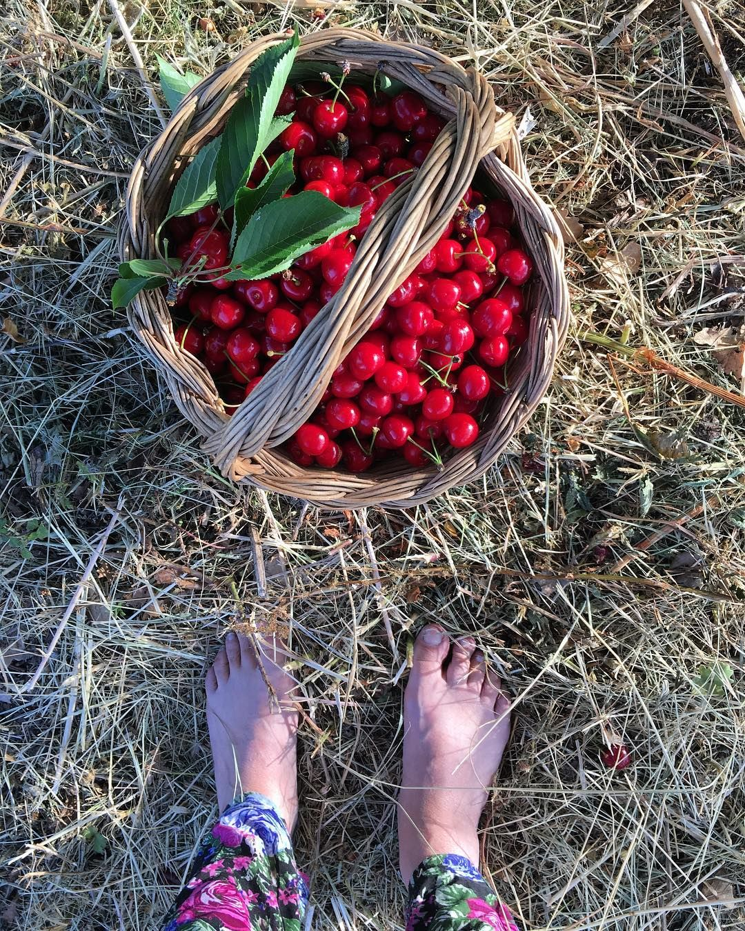 Cherry picking  Raccogliendo ciliegie podereargo organicfarm cherries homegrown homegrownfruithellip