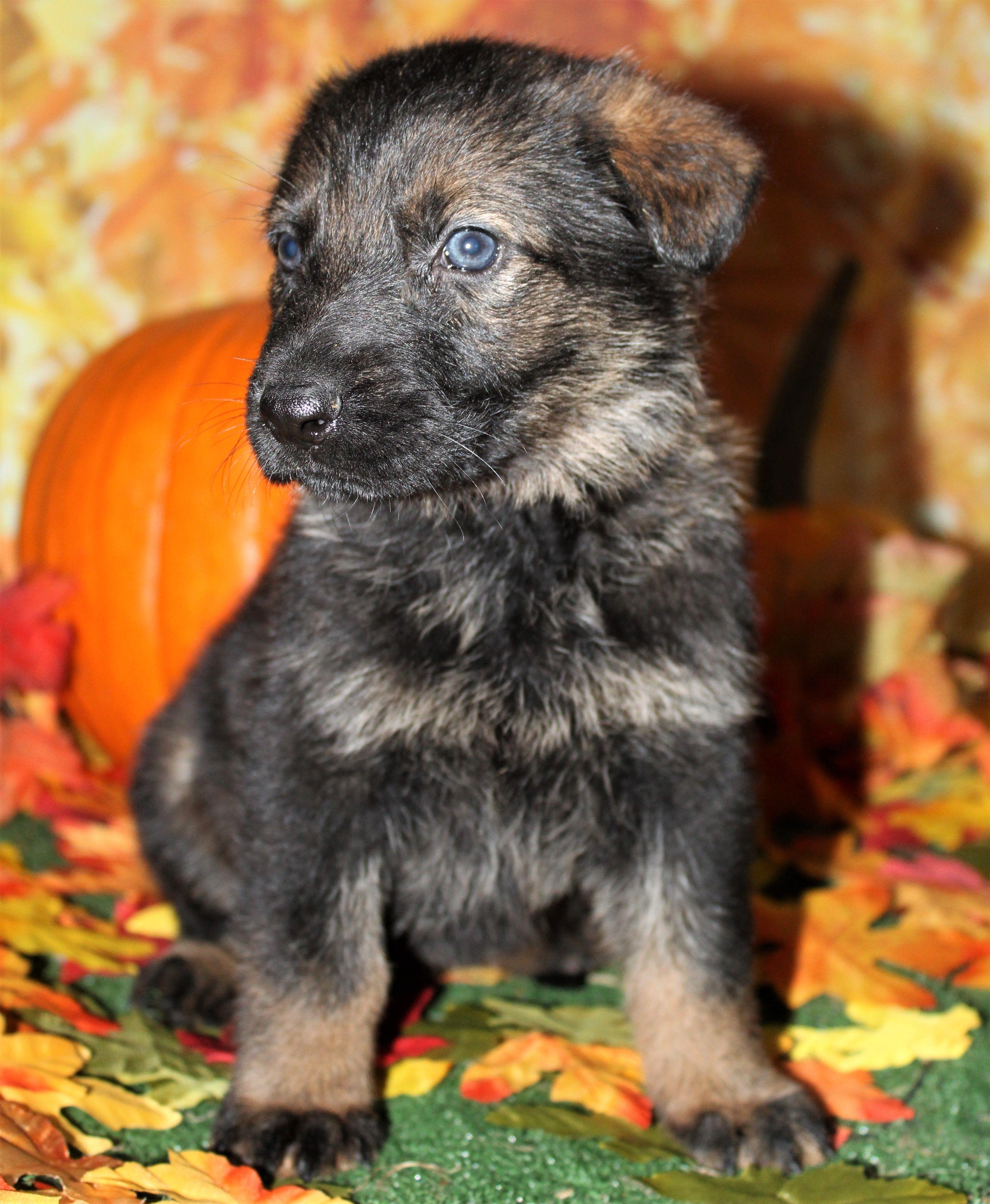 Black Sable German Shepherd Female Pup Sable german