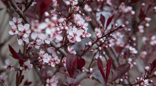 What gardening enthusiasts must know about purple leaf plum trees purple leaf plum is a deciduous ornamental tree cherished for its beautiful purple leaves and small pink colored flowers mightylinksfo Gallery