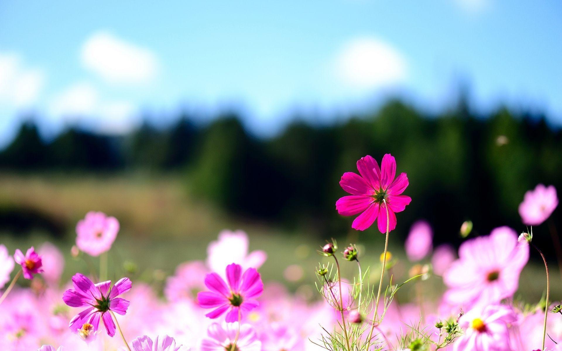 10 Top Flower Backgrounds For Computer Full Hd 1080p For Pc Background Flower Desktop Wallpaper Pink Flower Photos Flower Wallpaper