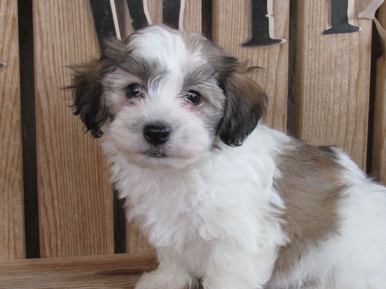AKC Havanese puppy Caleb Kate's Puppies in Ohio