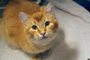Jackson is an adoptable Tabby - Orange Cat in Sheridan, WY.  Jackson is a 2 year young orange tabby, who is so loving and adorable. He came to us from a troubled situation and was very shy. We worked...