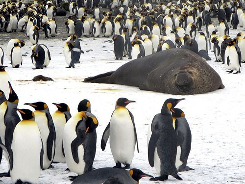 awesome King Penguins and Elephant Seal