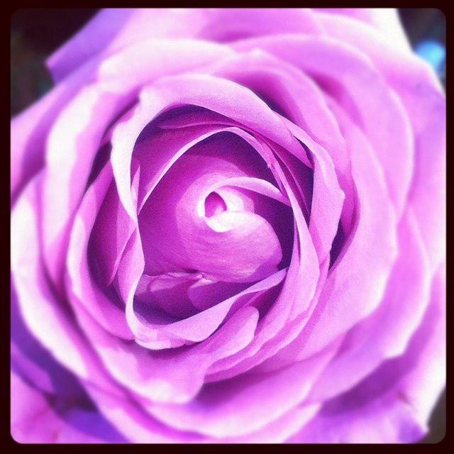 Lavender Rose :)