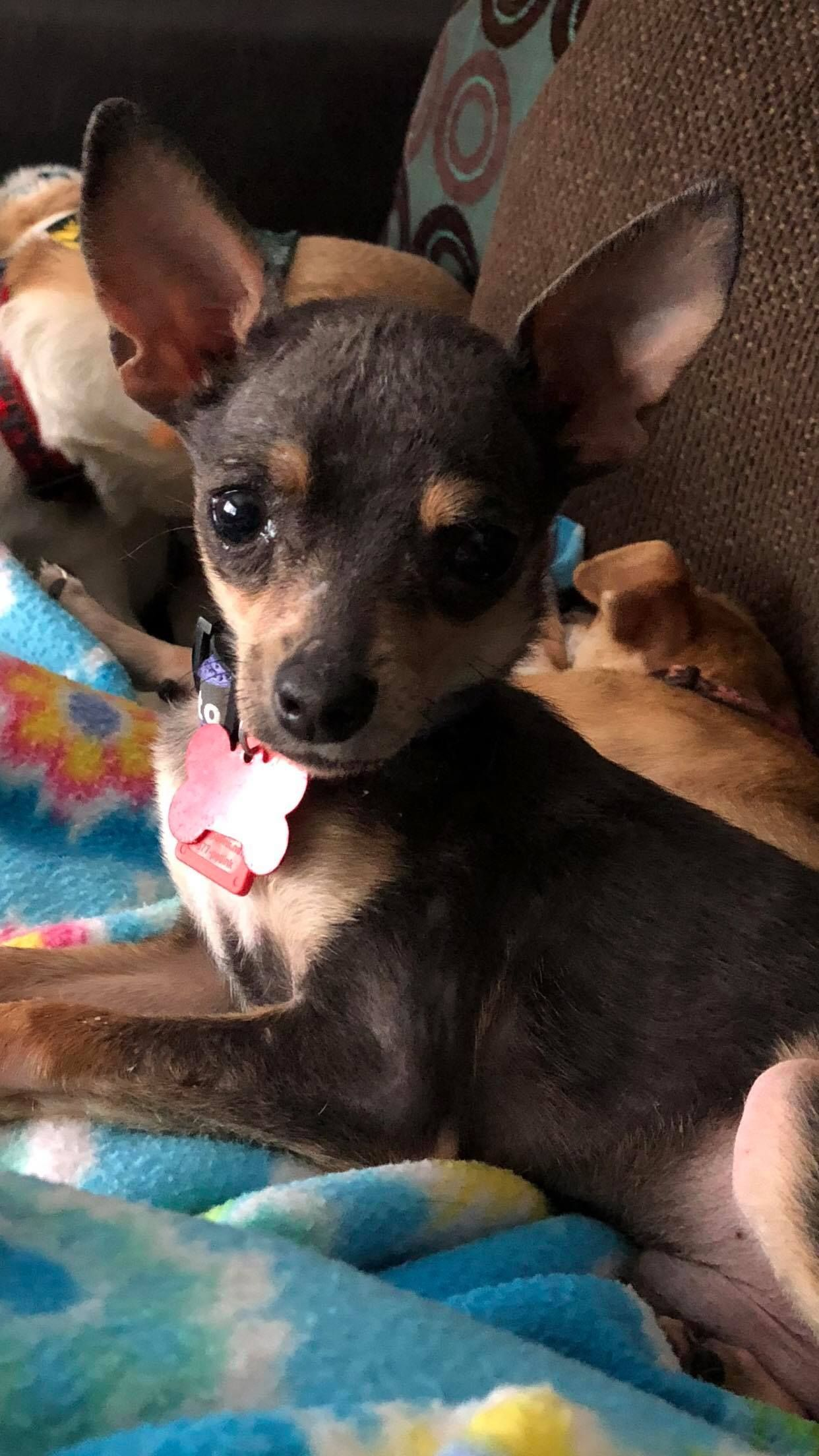 Chihuahua Dog For Adoption In Maple Grove Mn Adn 803564 On Puppyfinder Com Gender Male Age Baby Dog Adoption Chihuahua Puppies Chihuahua Dogs