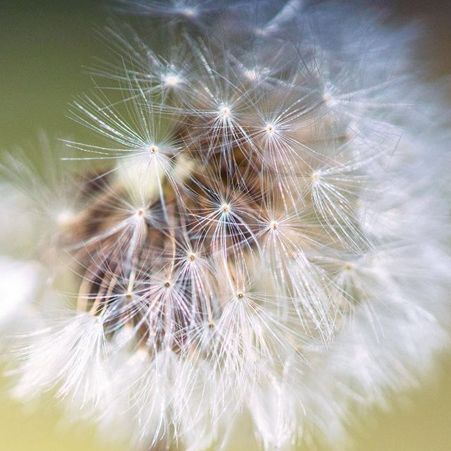 When I had a yard I hated dandelions, but this one caught my eye on my walk yesterday. There is a lot of beauty  packed into one small puff of seeds.  #Yunnan #puer #chinatravel #chinagram #naturelovers #naturephotography #nomadlife #leaf #leaves #nature #documentary #documentaryphoto #documentaryphotography #sunrise #sonyalpha #china #beautiful #traveldeeper #travel #tree #exploringthefrontier #story #storytellers #storytelling #visualstorytelling #dandelion