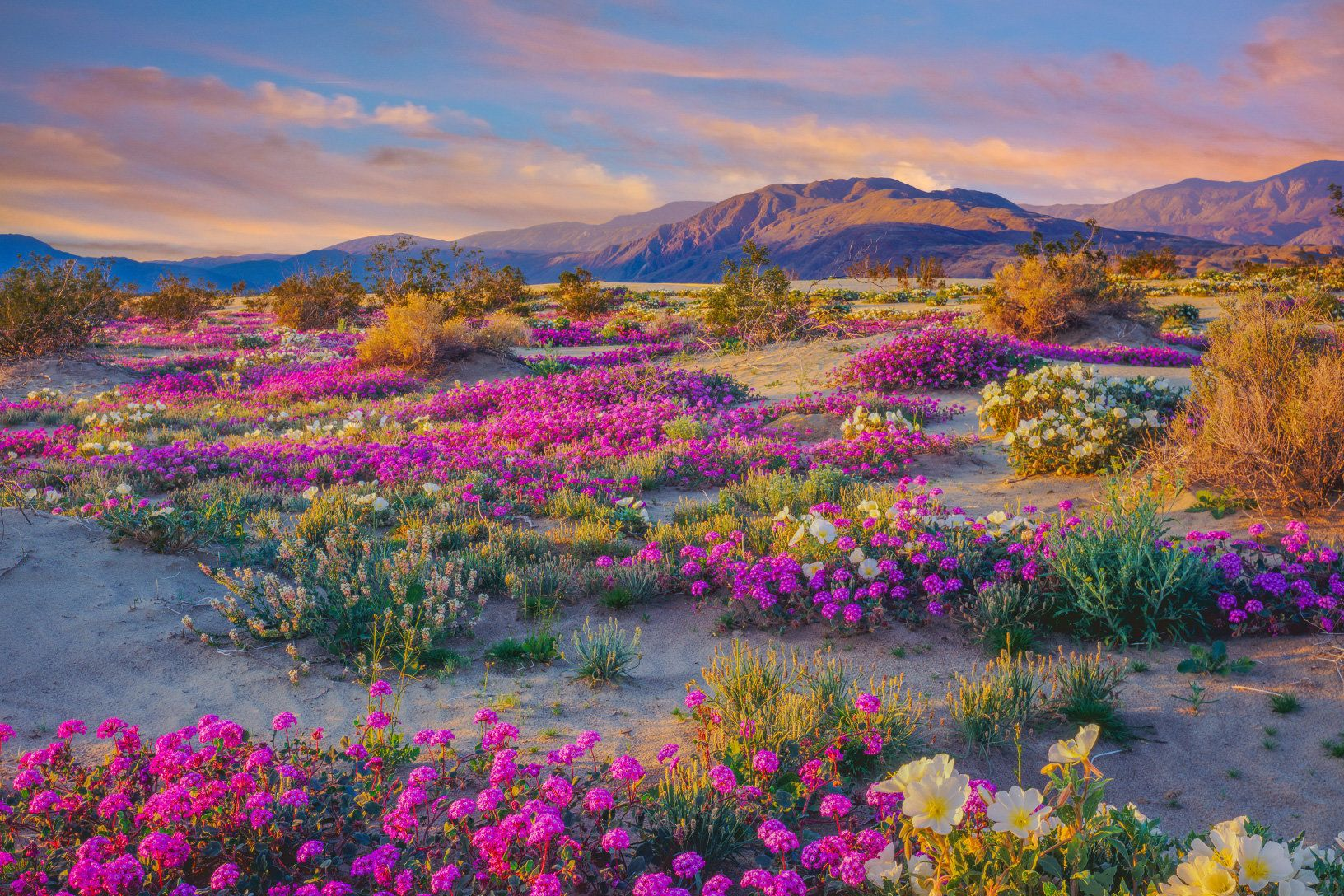 Where to See Desert Wildflowers Right Now California