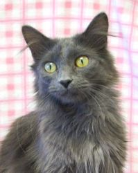 Adopt Phoebe On Grey Cats Happy Cat Cats