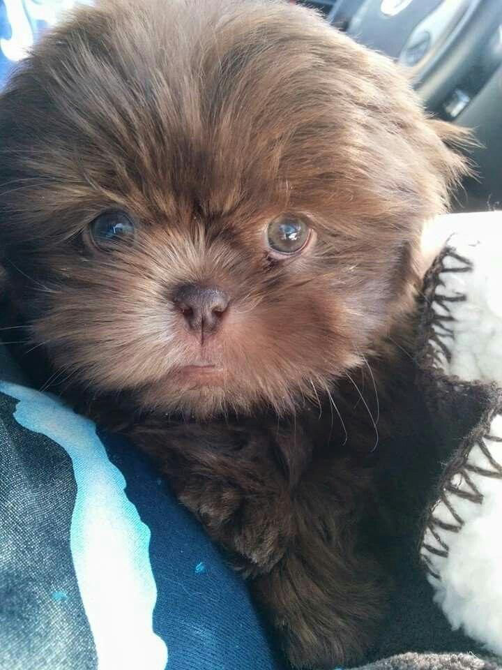 Liver Chocolate Shih Tzu Tyrion Shih Tzu Cute Baby Animals Dog