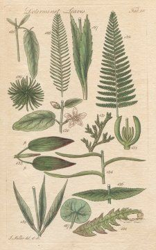 DETERMINATE LEAVES, Plate 28 Illustration by John Miller Botanical Studies from 1789 Poster print. Featured plants: Moving Hedysarum, Dandelion, Corn Marigold, Fern Polypodium, Larch Tree, Large-leaved Theobroma, Cypress Tree, Fig-Marigold, Broad-leaved Pond Weed, Checkered Tulip, Rose Bay, Hemp Agrimony, Indian Cress. Emerald Honeybee,http://www.amazon.com/dp/B004V4GXHK/ref=cm_sw_r_pi_dp_elW-sb1785HZETMG