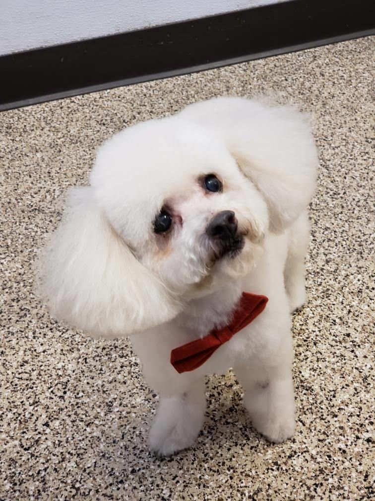 Adopt Rusty On Poodle Rescue Dog Adoption Homeless Pets