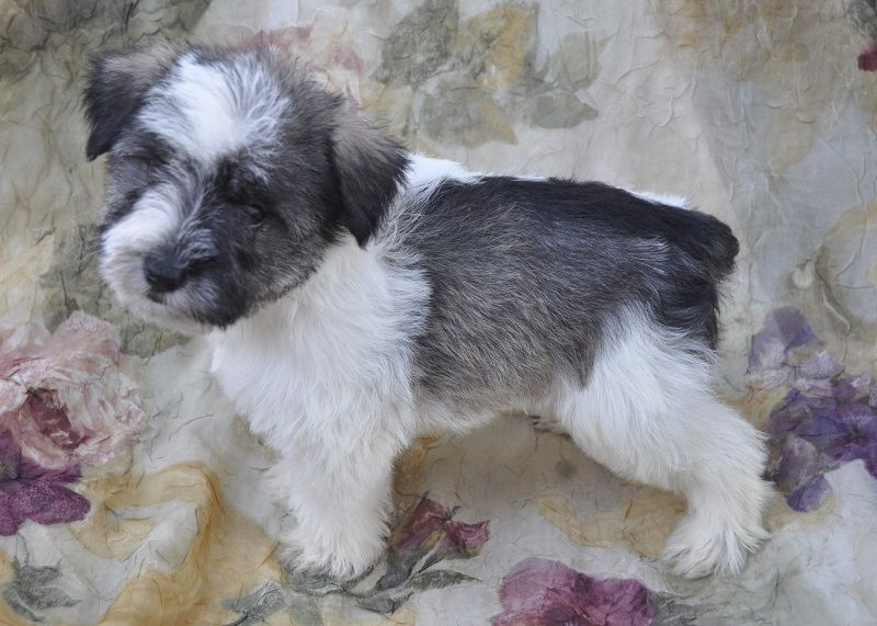 Akc Marketplace American Kennel Club Akc American Kennel Club Puppies For Sale